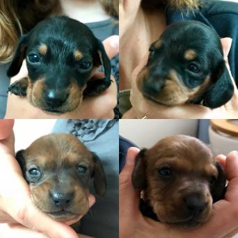 dachshund miniature red - Dogs & Puppies, Rehome Buy and