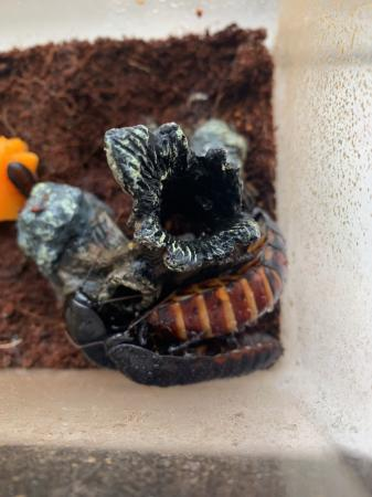 Image 2 of Madagascan hissing cockroach colony