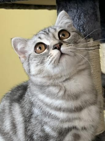 British Shorthair Kittens Cats Kittens Rehome Buy And Sell In Norfolk Preloved