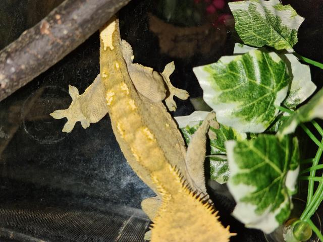 Preview of the first image of proven olive male crested gecko.
