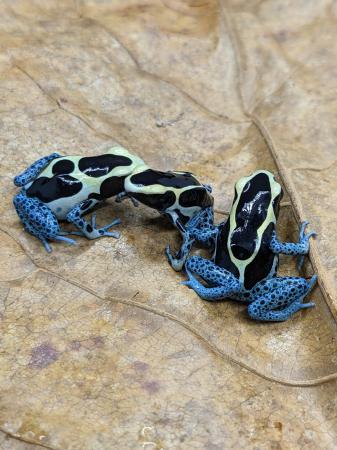 Image 5 of dart frog Tinctorius Powder blue