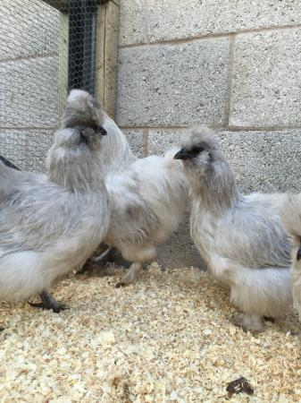 Image 23 of Silkie, Silkie Hatching eggs, poultry feed