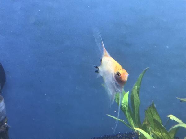 Image 2 of Angelfish Wanted