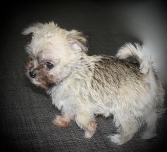 Maltese Dogs Puppies For Sale In Scarborough Preloved
