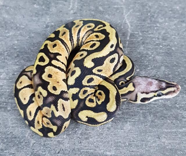 Preview of the first image of scaleless head pastel het clown.
