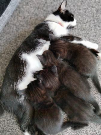 Image 5 of Black kittens