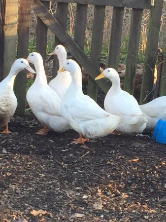Image 6 of CHERRY VALLEY DUCKS, hatching eggs £1.50 each