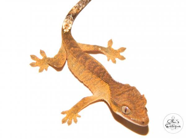 Image 2 of Brindle Crested Gecko
