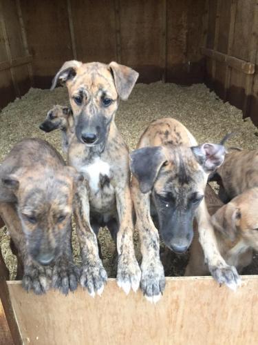 Deerhound X Greyhound Puppies For Sale In Dennington