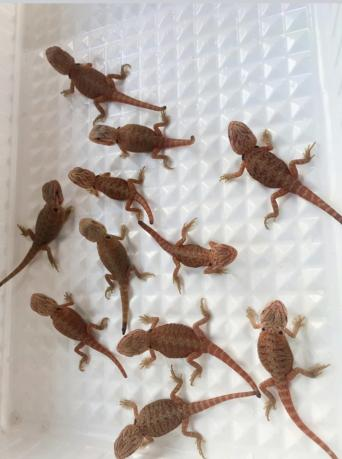 hypo bearded dragon - Reptiles, Rehome Buy and Sell | Preloved