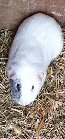 Image 6 of male guinea pigs