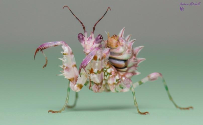 P Wahlbergii Spiny Flower Mantis 2nd 3rd Instar For