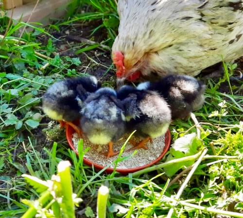 Image 3 of Cuckoo Maran hatching eggs for sale- Large fowl, Pure Breed