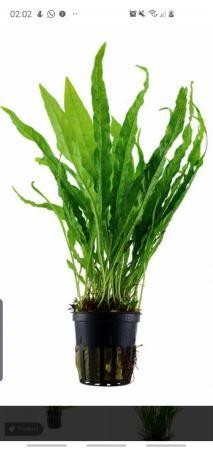 Image 2 of Java Fern. Live Aquarium Plants