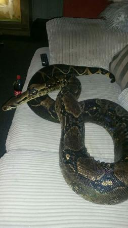 Image 3 of female bci boa constrictor