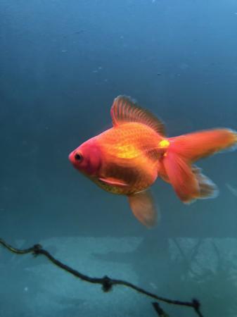 Ryukin Female Fancy Tail Goldfish
