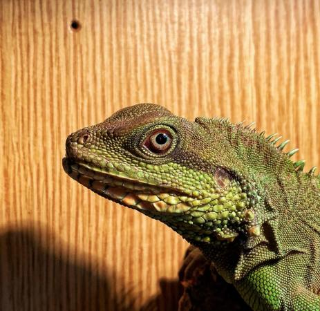 Image 2 of Chinese water dragons