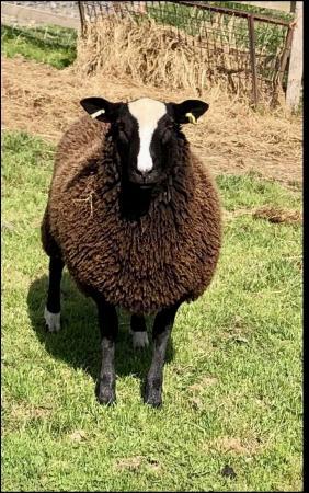 Image 1 of Zwartble ram