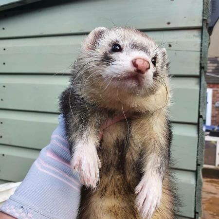 Image 3 of ferret and pet microchipping