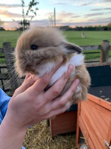 Preview of the first image of BABY BUNNIES FOR SALE.