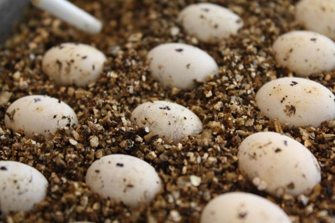 Image 1 of Reptile eggs wanted