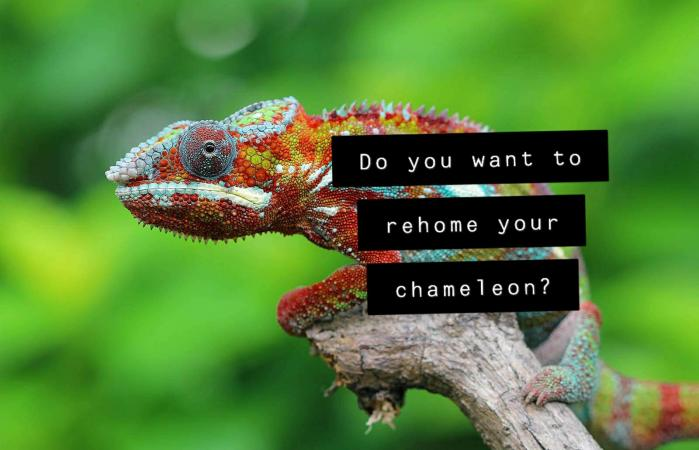 Image 1 of Chameleon Rehome we can help Cheshire