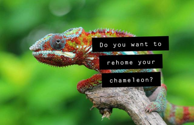Preview of the first image of Chameleon Rehome we can help Cheshire.