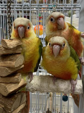 Image 3 of BABY HAND REARED PINEAPPLE CONURES