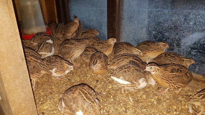 Image 2 of Japanese quail