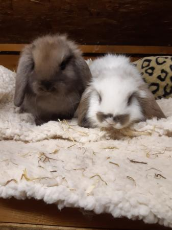 Image 3 of Mini Lop Rabbits