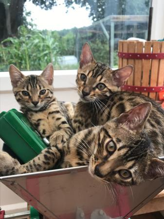 Tica registered bengal cats good blood lines ready to go