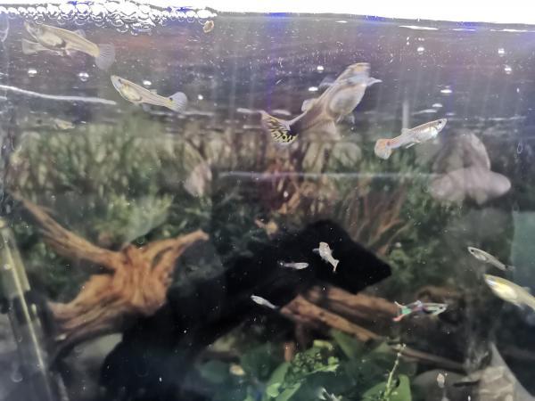 Image 2 of Guppies