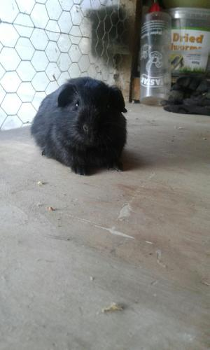 baby guinepigs For Sale in Newhall, Swadlincote | Preloved