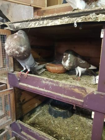 Image 6 of 4 pairs of norwich croppers pigeons