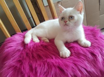persian - Cats & Kittens, For Sale in London   Preloved