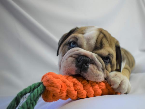 Image 3 of British bulldog bitch