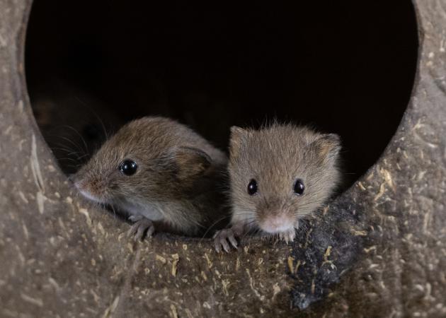 Image 3 of Harvest mice