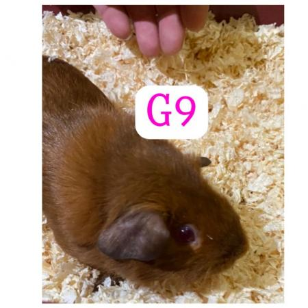Image 5 of guinea pigs all sexes please see pics