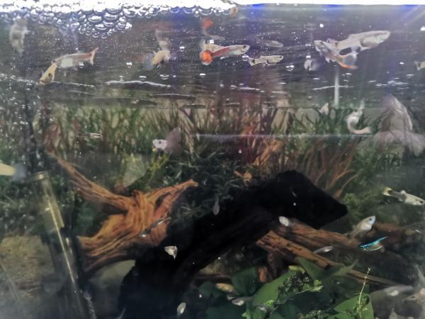 Image 1 of Guppies