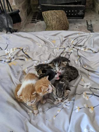 Image 3 of only tom kittens remaining