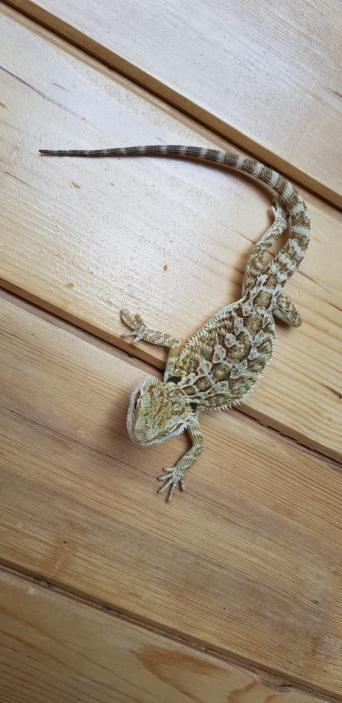 hypo bearded dragon - Reptiles, Rehome Buy and Sell   Preloved