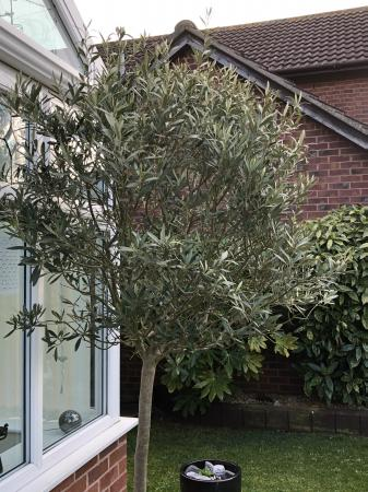Image 3 of Large olive tree in a pot