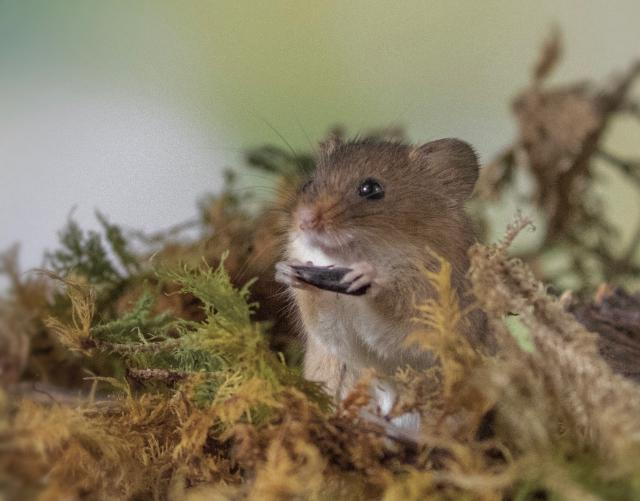 Preview of the first image of Harvest Mice.