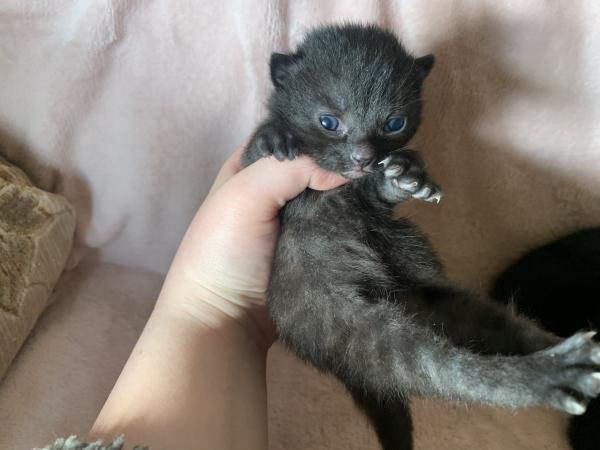 Image 1 of Beautiful black kittens