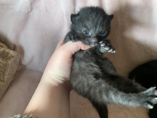 Preview of the first image of Beautiful black kittens.