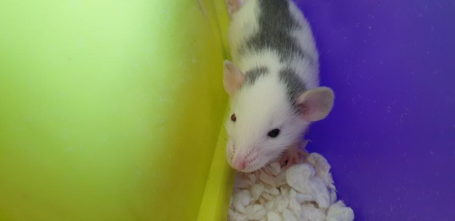 Image 14 of Tame Young/baby rats for sale (guaranteed tame)