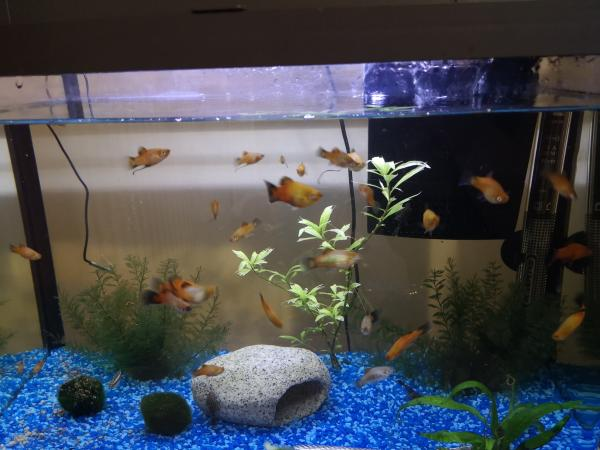 Image 1 of Tropical Platy Males and Females
