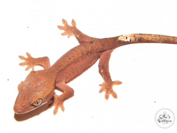 Image 3 of Unsexed red Dalmatian Crested Gecko