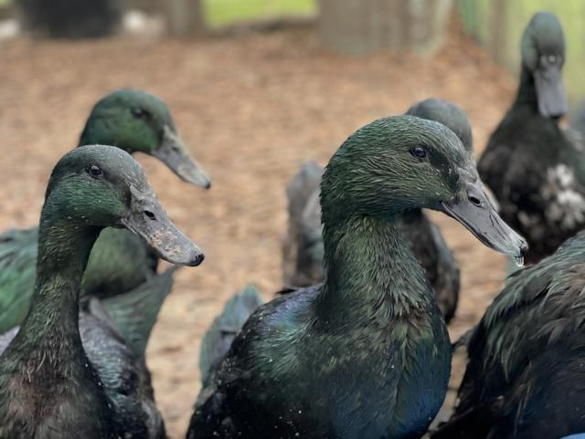 Preview of the first image of Fertile Cayuga Duck Hatching Eggs & Ducklings.
