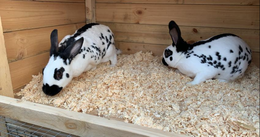 Image 2 of 2 English doe rabbits